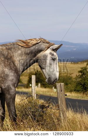 A portrait of a gray horse in the nature