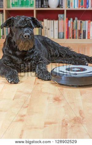 Giant Black Schnauzer dog is lying next to the robotic vacuum cleaner on the floor.View from a higher angle. Focused on the dog.Vertically.
