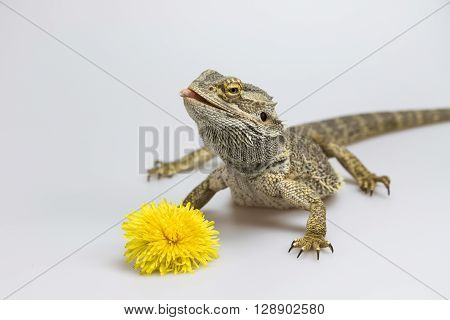 Agama lizard is standing on the light background. The yellow blossom of dandelion is lying in front of her. Agama has head held high and slightly tongue out. Everything is on a light background.