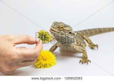Female hand is offering a dandelion to Agama who is standing with a slightly open mouth on a bright surface.