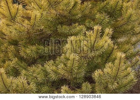 Gold coin golden scotch pine (Pinus sylvestris Gold coin). Image of twigs and needles