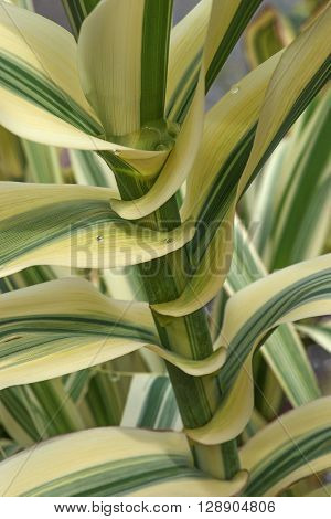 Giant cane (Arundo donax). Called Carrizo Arundo Spanish cane Colorado River Reed Wild cane and Giant reed also. Close up image of stem and leaves