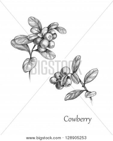 Hand drawn illustration of forest berries. Twigs of Cowberry. Monochrome sketch lingonberry. Wild berry set.