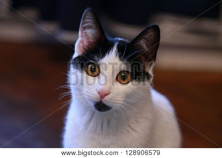 Cute black and white stray cat facing the camera