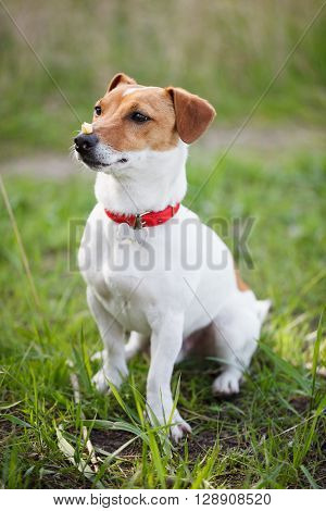 Well Trained Jack Russell Terrier Puppy With Food On Nose