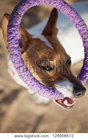 Little Jack Russell puppy playing with puller toy in teeth. Location is outdoors. Cute small domestic dog good friend for a family and kids. Friendly and playful canine breed