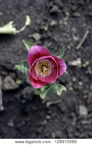 tulip's large flowers usually bloom on scapes with leaves in a rosette at ground level and a single flowering stalk arising from amongst the leaves