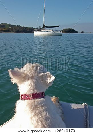 West highland white terrier westie dog on a dinghy looking at a sailboat in the distance. The focus is in on the dog's head; the sailboat in the background is intentionally blurred.