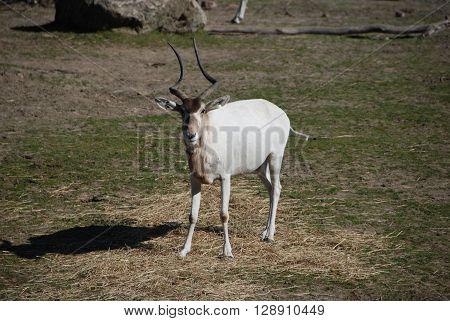 White Addax antelope watching on the savanna