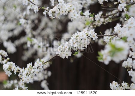 Blossoming White Flowers