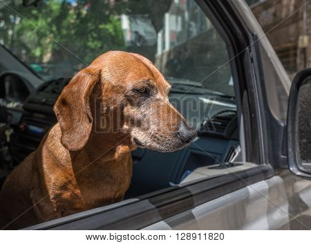 Cute dog staring from the car window