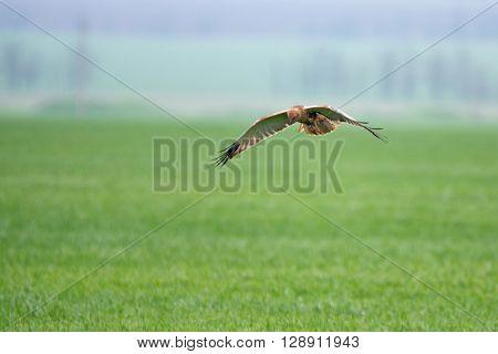 Western marsh harrier (Circus aeruginosus) hovers above field