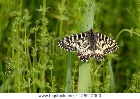 Southern Festoon (Zerynthia polyxena) butterfly on meadow