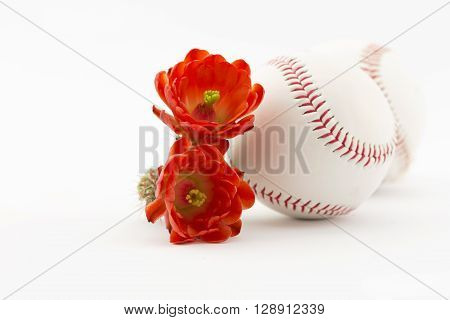 Two baseballs placed with hedgehog cactus flowers reflect spring cactus league in Arizona.
