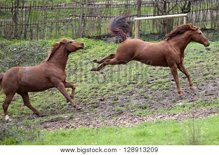 Horse buck and kick out in fight with another horse