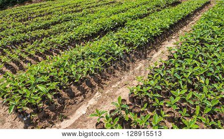 Organic Coffee for sale. Finca Organic Coffee Ecuador South America