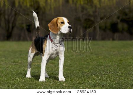 the dog breed beagle on a green grass