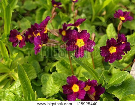Purple and yellow primula on the spring bed