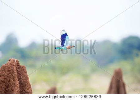 Indian Roller flying between termite mounds near Bangalore India.
