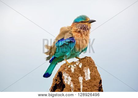 Indian Roller perched on a termite mound in a field near Bangalore India,