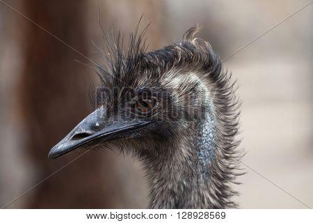 Emu (Dromaius novaehollandiae). Wild life animal.