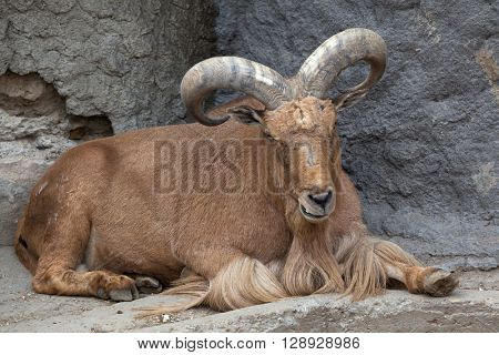 Barbary sheep (Ammotragus lervia). Wild life animal.