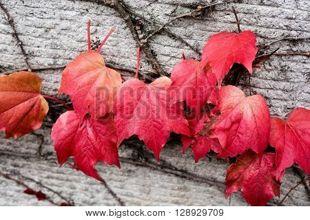 Pinky red Autumn leaves on a stone wall