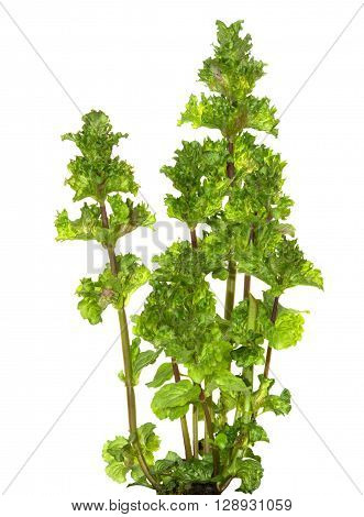 Leaves of Spearmint on white, used for tea.