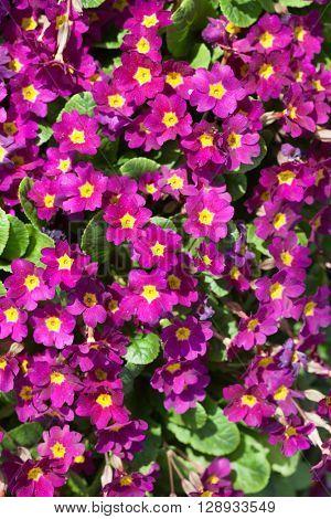 nice primrose flowers