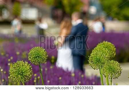 lavender and Alliums lawn on the Crimean embankment with wedding couple in the background. Moscow, Russia. focus is on Alliums