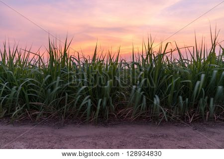 The fresh sugarcane in the sunset time