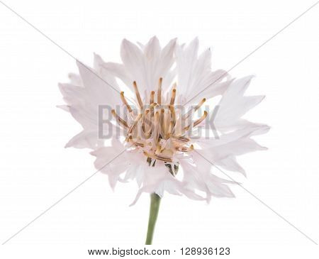 Flowers cornflowers on a white background, floral, petal, head,
