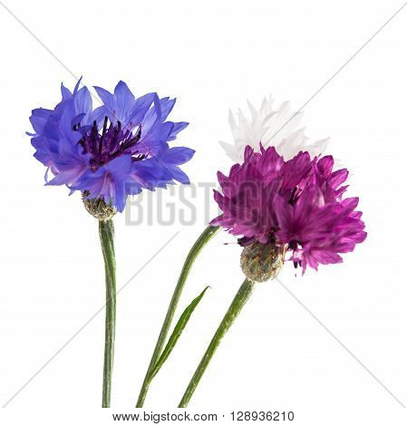 Flowers cornflowers on a white background, bloom, wildflower,