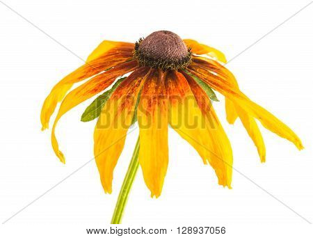 big yellow flower on a white background