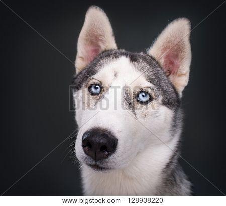 Husky Dog on a black background