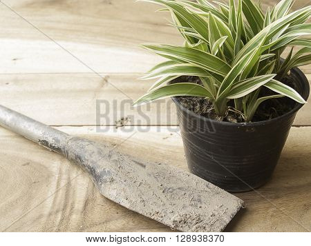 black plastic pot of Chlorophytum comosum with spade on wood background