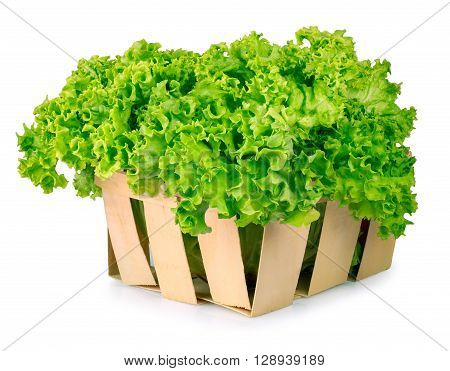 Fresh organic green lettuce in a basket isolated on white background. Vegetable salad lettuce. Filled basket of vegetable lettuce