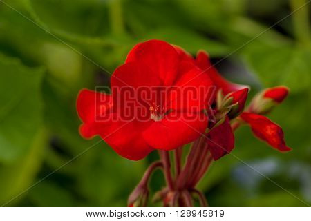One flower of red colour on green natural background.
