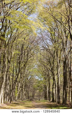 forest path under beech trees on sunny day in spring in the netherlands near hilversum