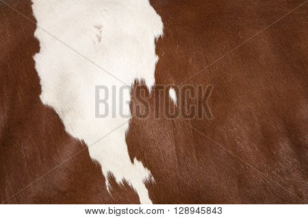 closeup of white spot on brown hide on side of cow