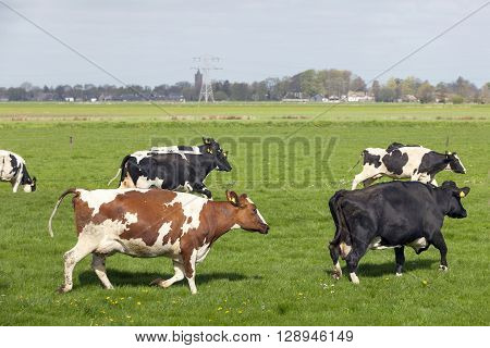 black and white cows dance and run in green grassy dutch meadow on first day in the field