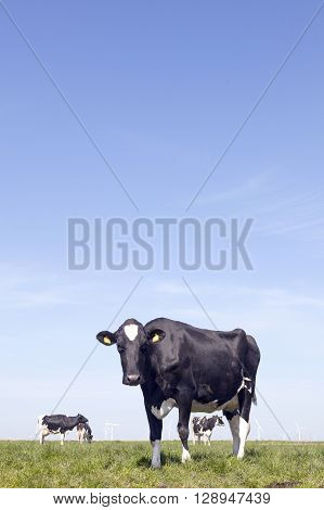 black and white cow stares in green grassy dutch spring meadow under blue sky in holland
