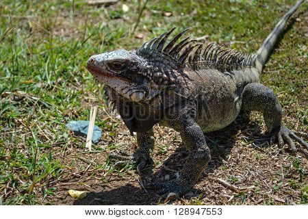 Iguana on a grass field in sunny day.