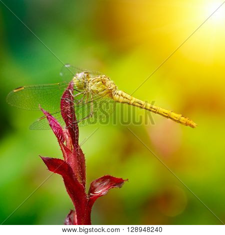 Large dragonfly illuminated by the sun