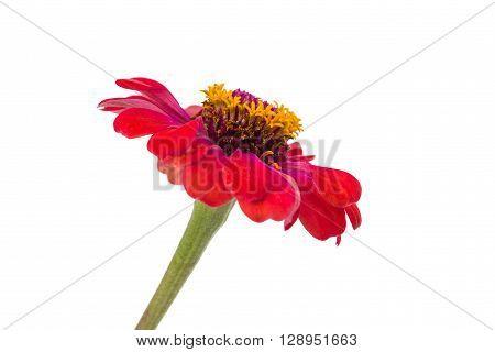 Isolated Zinnia Flower on white background round, single,