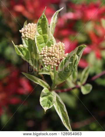 The pretty flower buds and variegated leaves of Cornus alba 'Elegantissima', also known as  red barked dogwood.