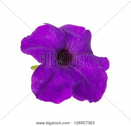 Flower petunia isolated on white background, hobbies, image,
