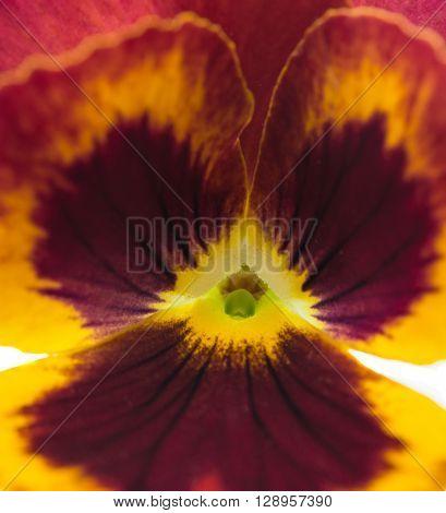 pansy flower isolated on white backgroundaf, macro, natural,