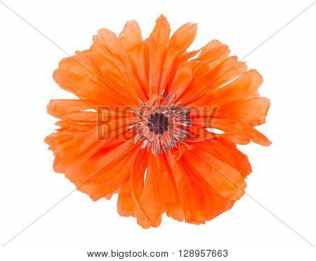 poppy isolated on white background freshness, gardening