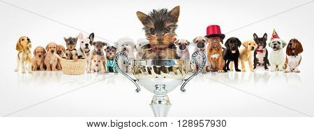 small yorkshire terrier puppy dog sitting in a big trophy cup in front of a winning group of dogs on white background